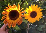 Sunflowers - Autumn Beauty