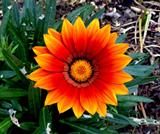 Flowers - Blanket Flower or Firewheel