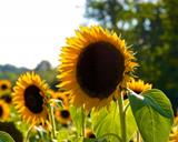 Sunflowers - Black Russian