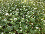 Ground Cover - Buckwheat (1 LB)