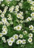 Herbs - Chamomile - Common