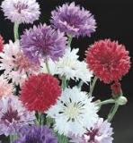 Flowers - Bachelor Buttons - Polka Dot Dwarf Mix