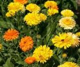 Flowers - Calendula Pacific Beauty