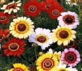 Flowers - Daisy - Painted