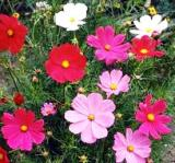 Flowers - Cosmos - Sensation