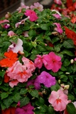 Flowers - Impatiens - Dwarf Mix