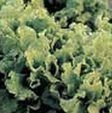 Lettuce - Leaf - Black Seeded Simpson - Organic
