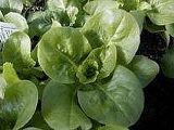 Lettuce - Head - Buttercrunch - Organic