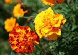 Flowers - Marigold Mix - Sparky