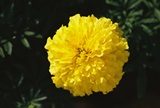 Flowers - Marigold Mix - Cracker Jack