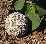Melon - Cantaloupe - Rocky Ford Green Flesh