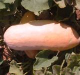Squash - Winter - Pink Banana Jumbo