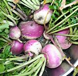 Turnips - Purple Top White Globe