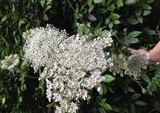 Flowers - Queen Anne's Lace or Bishop's Flower