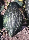 Squash - Winter - Green Hubbard