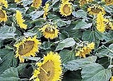 Sunflowers - Dwarf Sunspot