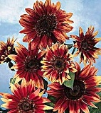 Sunflowers - Indian Blanket