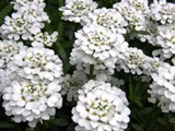 Flowers - Sweet Alyssum