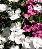 Flowers - Sweet William