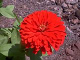 Flowers - Zinnia Mix -