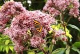 Flowers - Joe Pye Weed