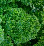 Herbs - Parsley - Moss Curled